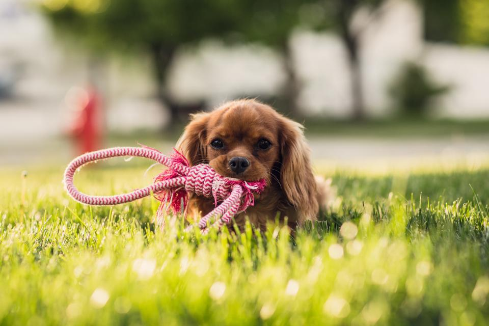 animals dogs domesticated pets eyes muzzle adorable curious miniature fetch rope knot sit grass outdoors still bokeh