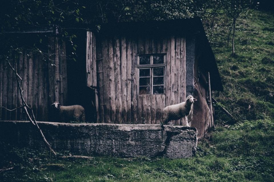 animals mammals sheep lamb fleece house cottage cabin slope woods grass abandoned