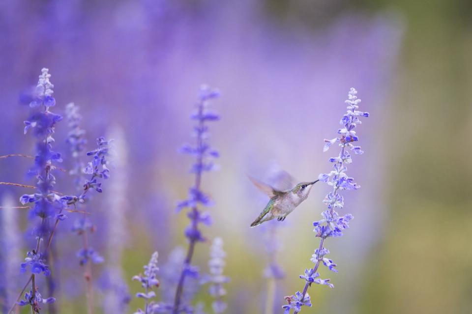 animals birds beautiful gorgeous feathers beak fly hummingbird motion flowers outdoors still bokeh