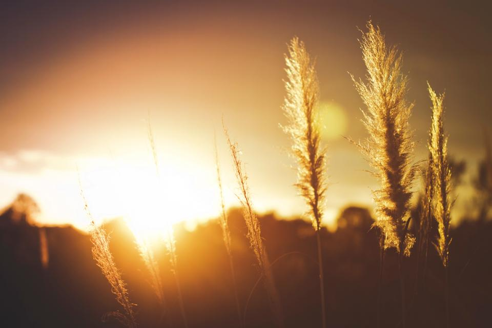crops field sunset sun sunlight plant yellow
