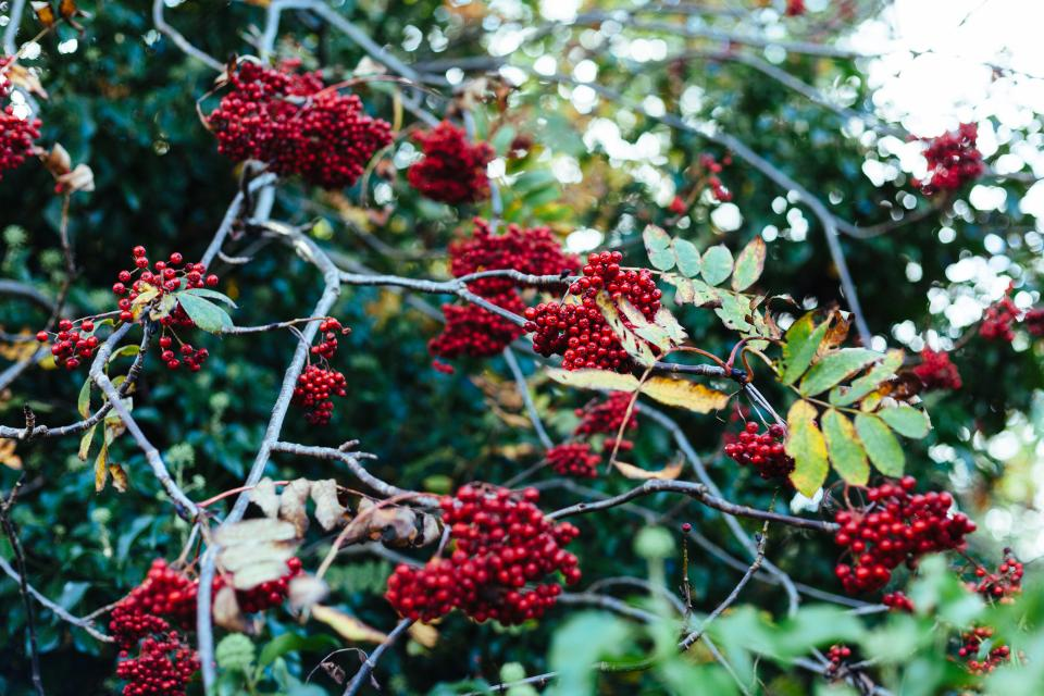 red berries fruits food trees leaves