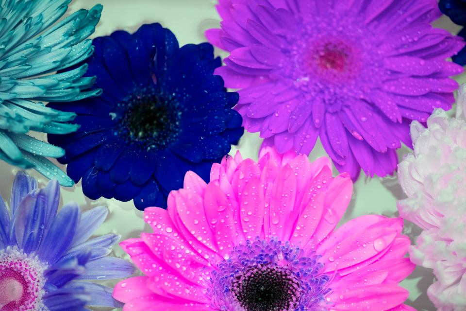 african daisy background beautiful beauty bloom blossom botanical botany closeup collection colorful daisy decoration drop effect elegance floating flora floral flower flowery fresh gerbera gerbera daisy inversion invert inverted isolated macro