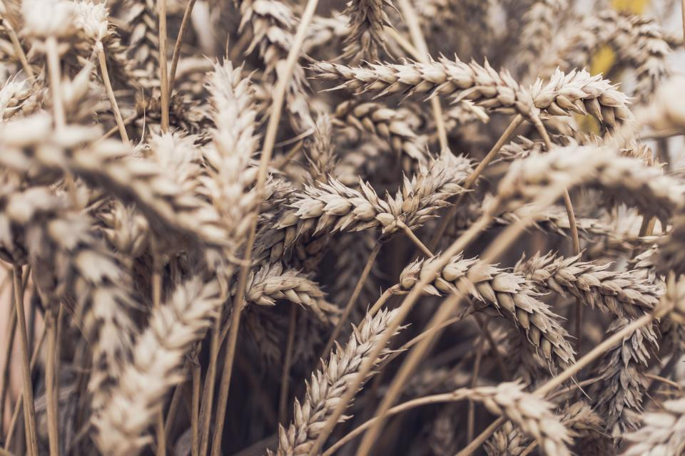 free photo of grass  wheat
