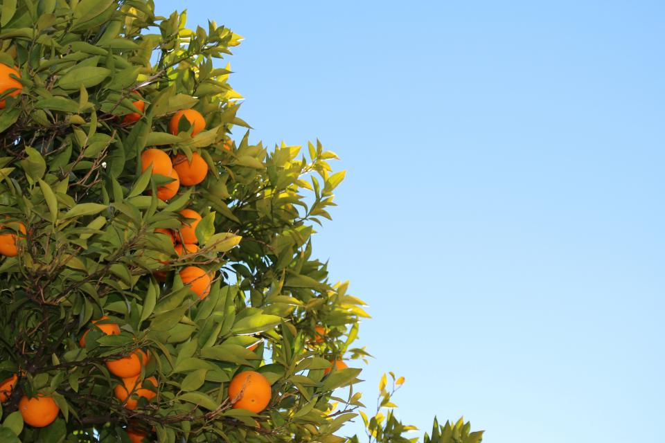 oranges fruits tree leaves blue sky