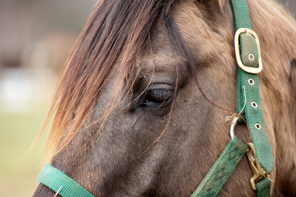 horse eye closeup brown animal equine farm nature head horse head equestrian face close friendly stallion