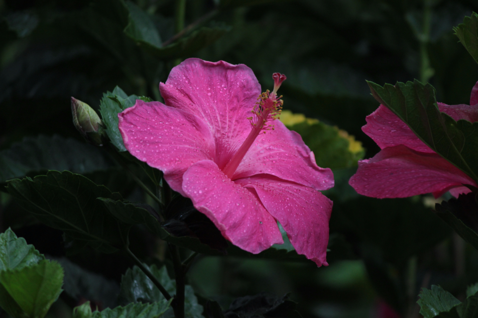 flower pink hibiscus nature natural plant leaf garden