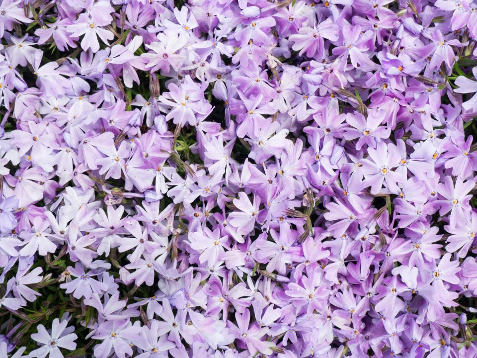 flowers nature blossoms lilac petals leaves violet purple bed