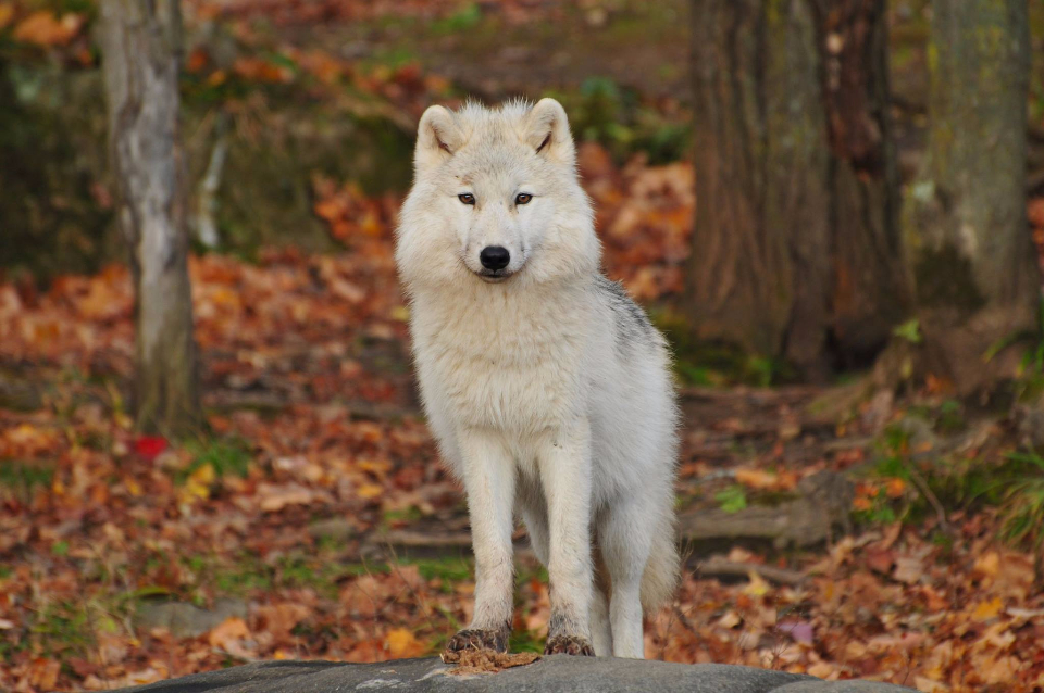 animal wolf canine close-up white dog focus fur white wolf wild wildlife winter