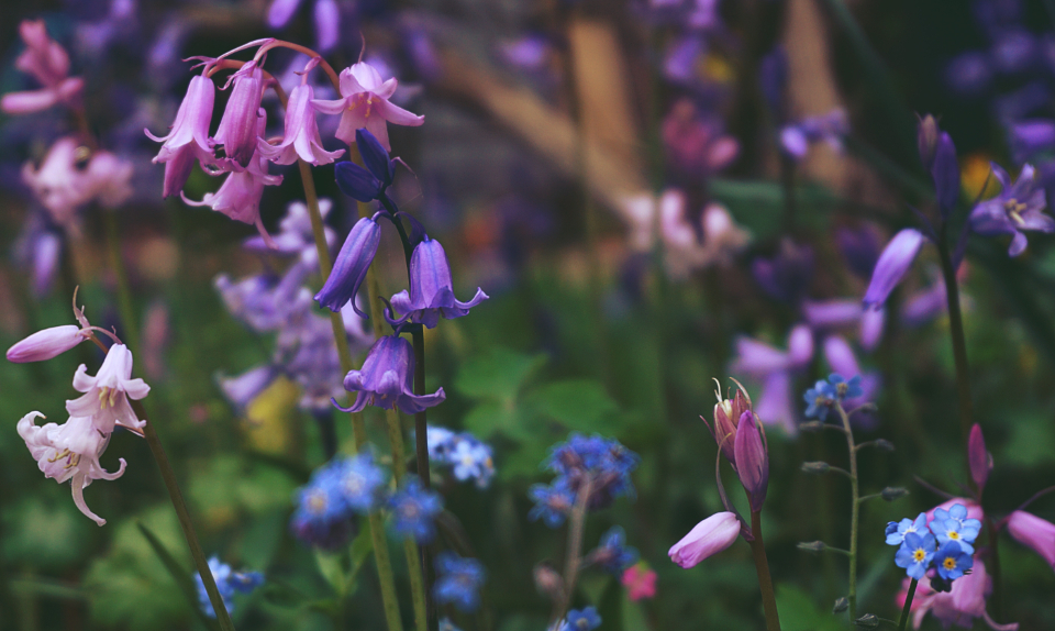bluebells flowers meadow garden flora wild flowers nature gardening bloom blossom botany environment outdoors spring