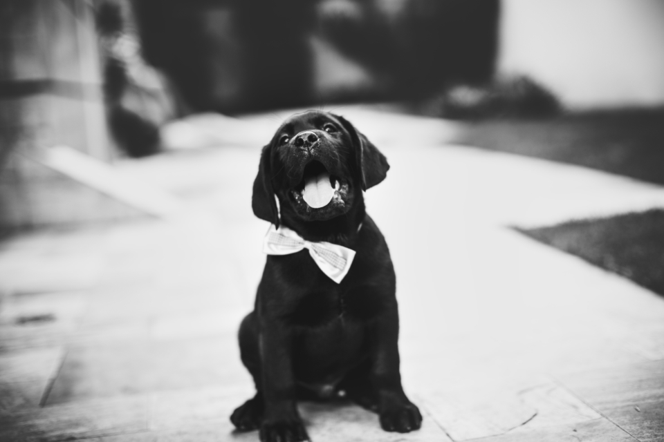 happy black labrador dog animal puppy pet bow tie black back & white adorable cute