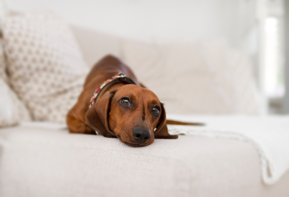 photogenic dachshund dog pose portrait eyes look animal pet minimal white