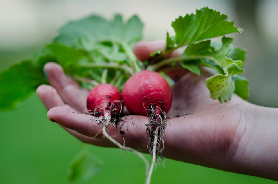 radish vegetables roots food healthy hands