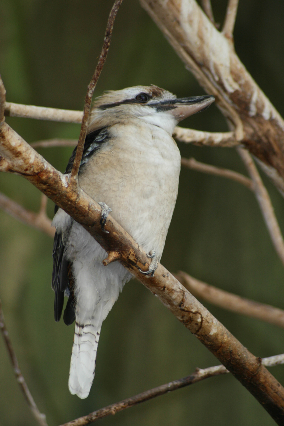 woodpecker bird wildlife perched branches tree animal nature beak feathers wings forest