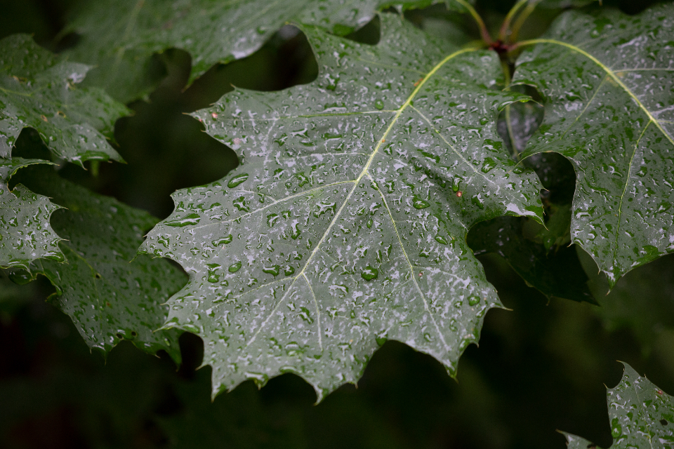 wet leaves droplets water rain environment nature outdoors trees oak close up green fresh growth leaf organic pattern plant texture tree forest