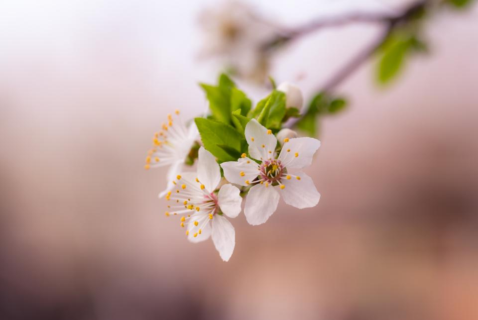 white petals flower bloom blossoms blur tree branch plants