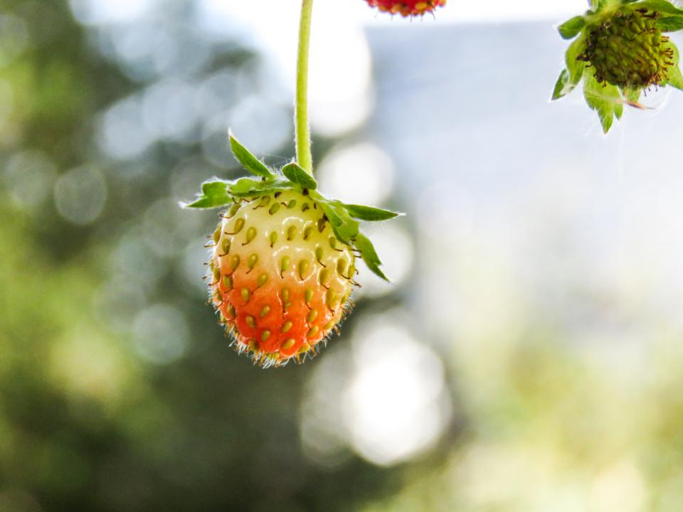 strawberries plants