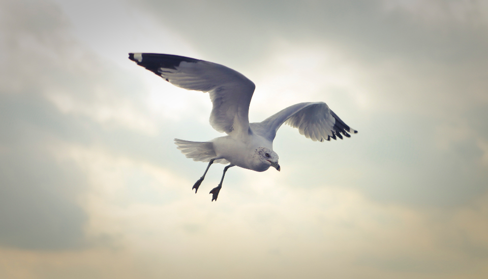 flying seagull bird nature animals swoop sea