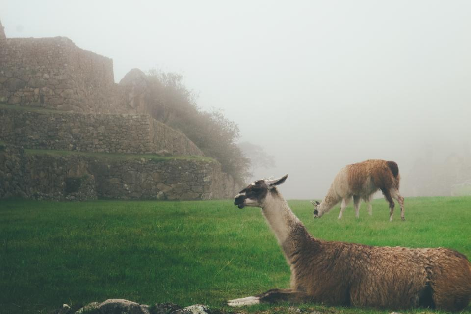 llama animal green grass lawn landscape fog
