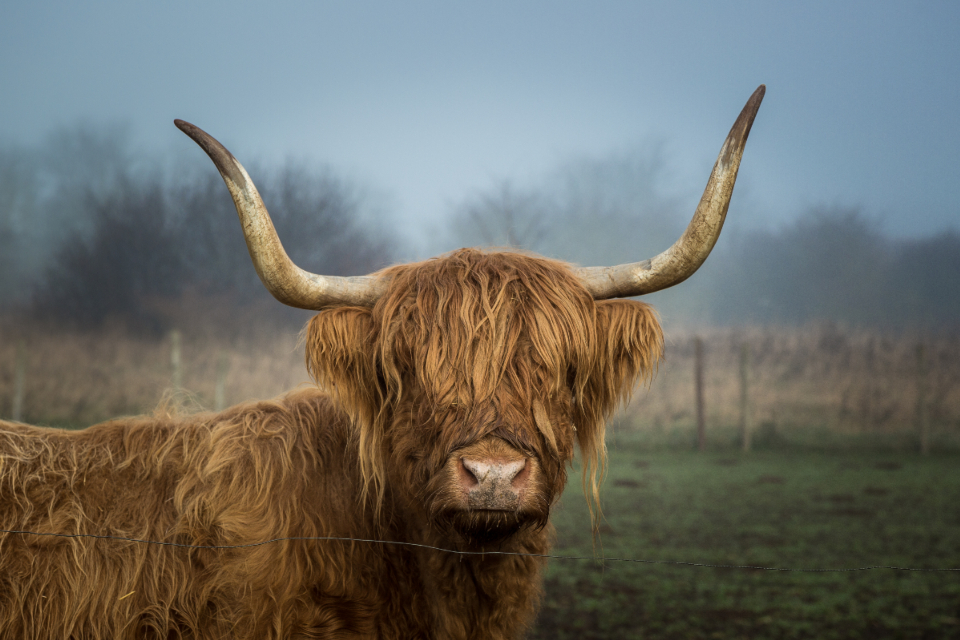highland cow field farm animal horns hairy cloudy stare look curious