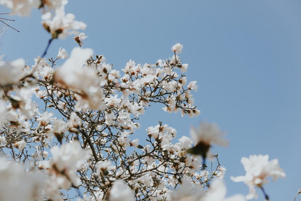 white flower bloom blossoms nature plant blue sky