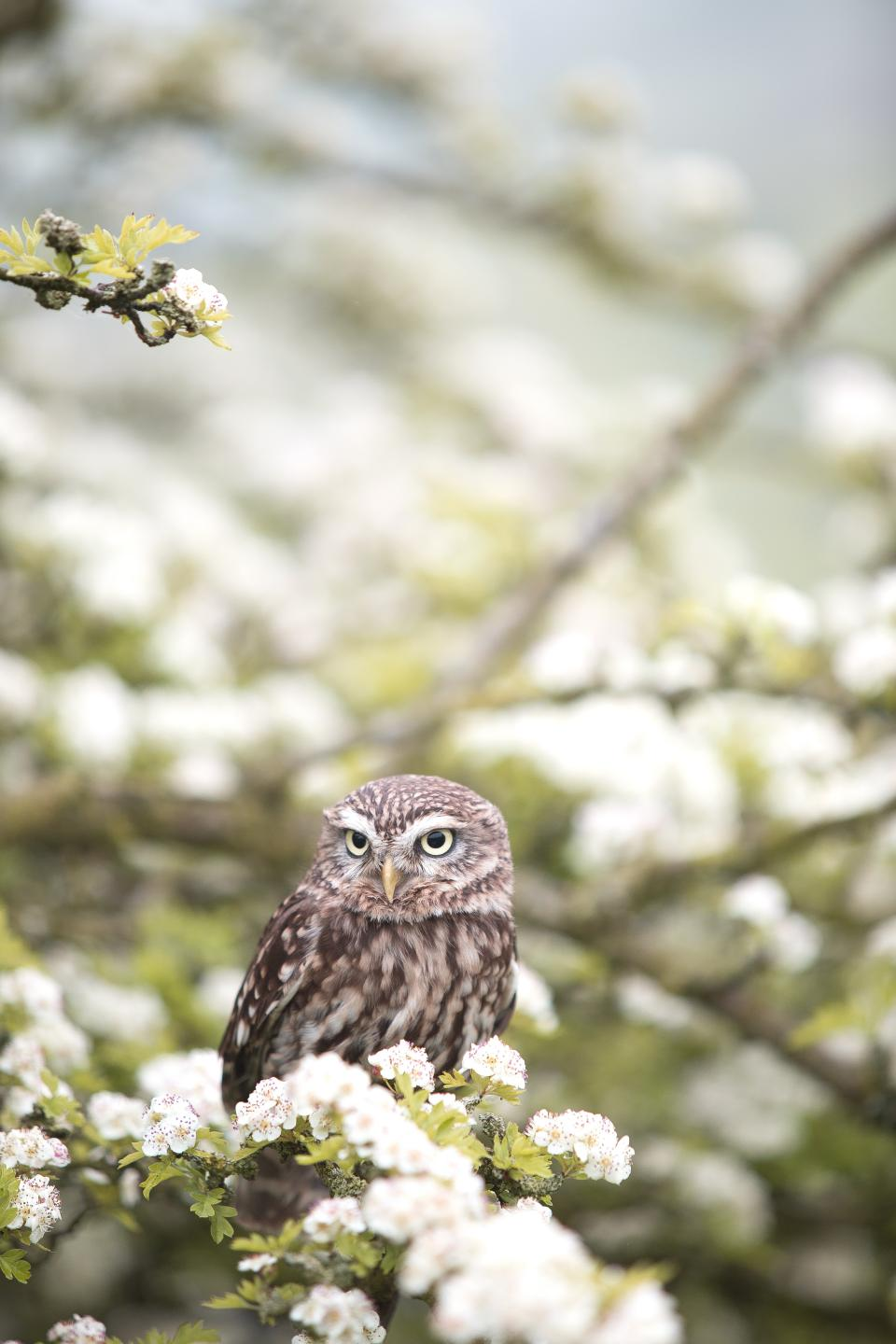 animals birds owl perched flowers nature blossoms branches trees white petals still bokeh beautiful white brown green pastels