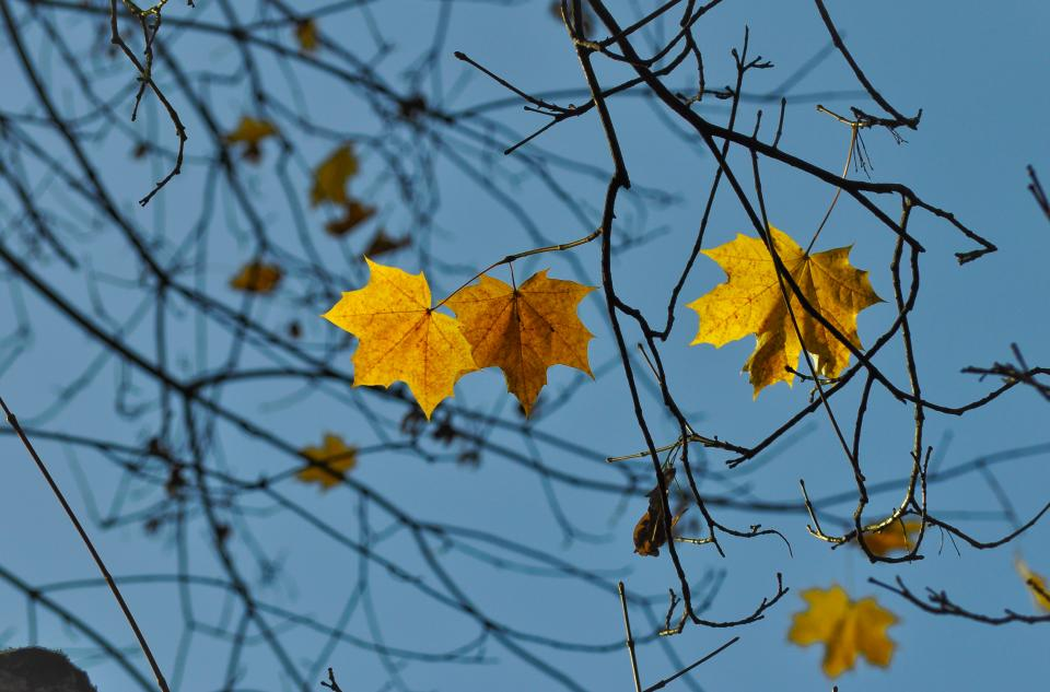 nature trees branches leaves maple sky light summer spring still bokeh blue brown yellow