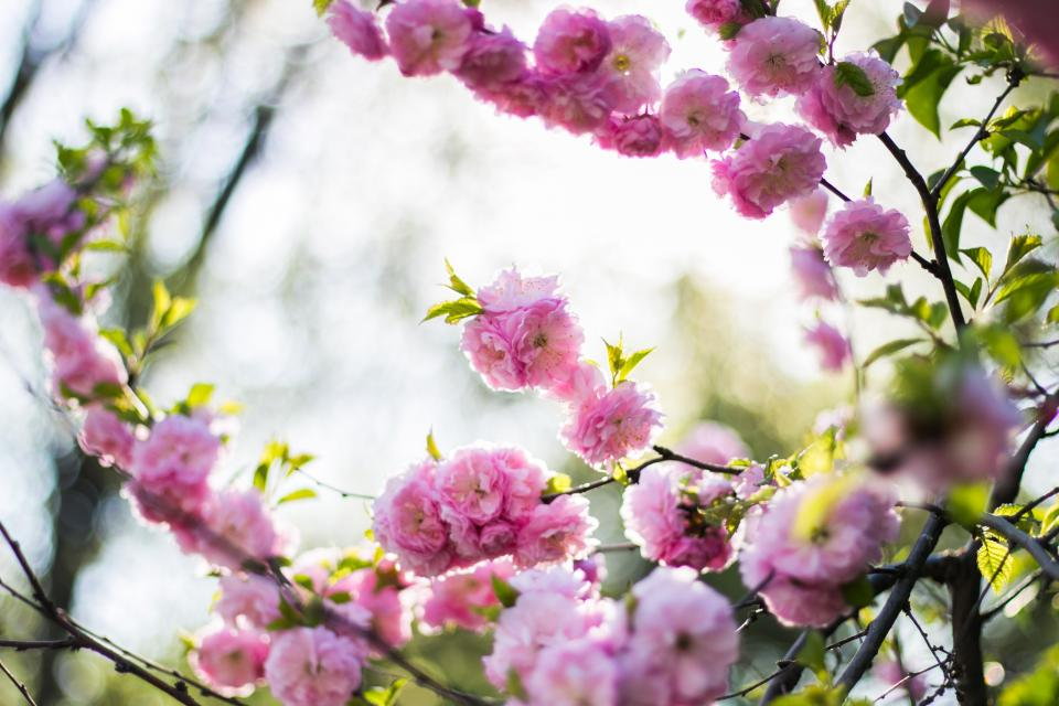 pink blossoms bloom flower tree branch nature plant outdoor farm field garden blur