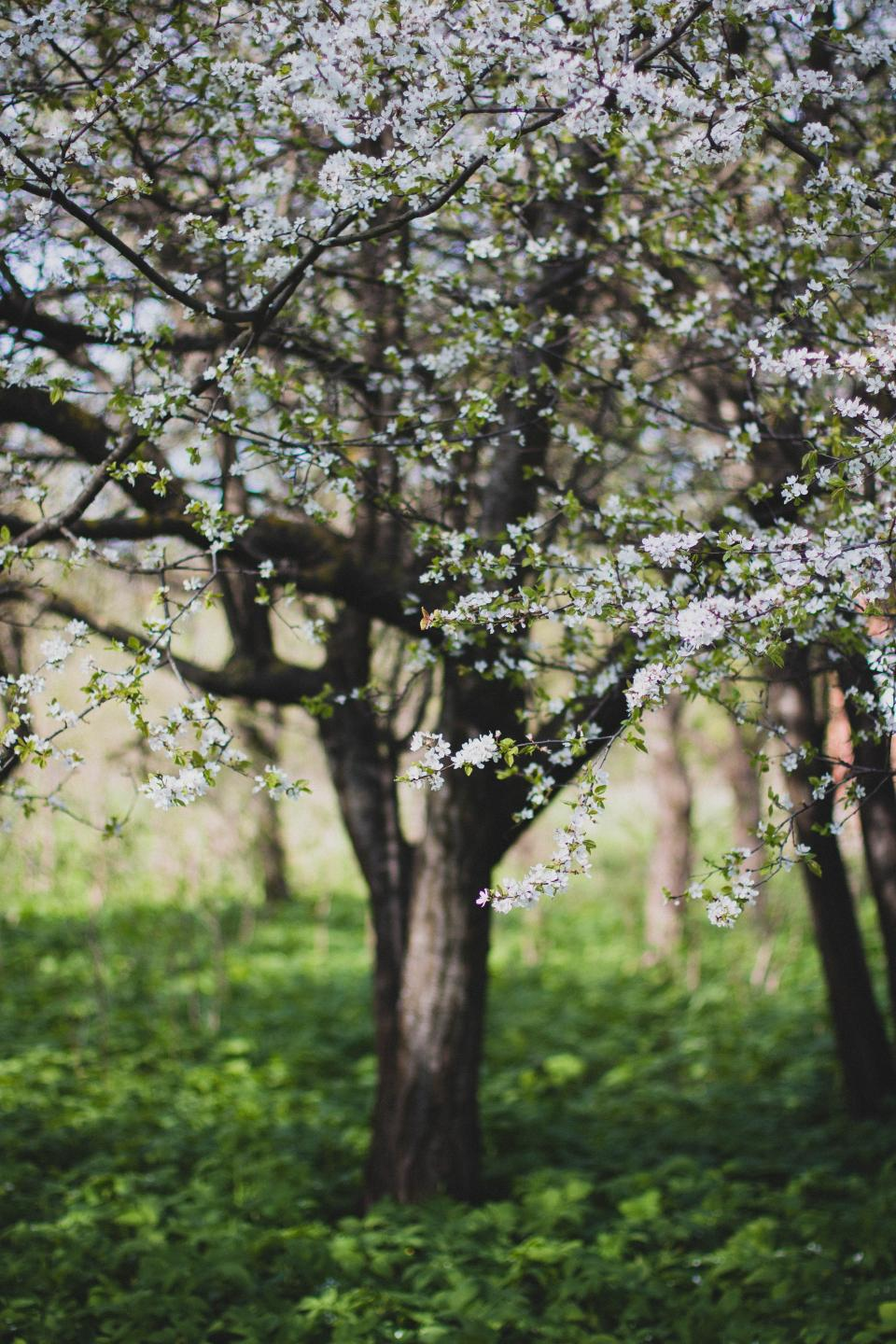 flowers nature blossoms branches stems stalk white petals trees trunks grass forest bokeh outdoors garden