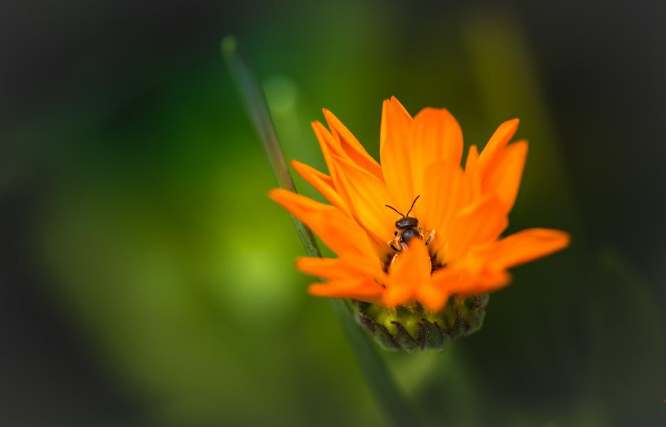 orange flower nature plant outdoor garden blur bee insect animal