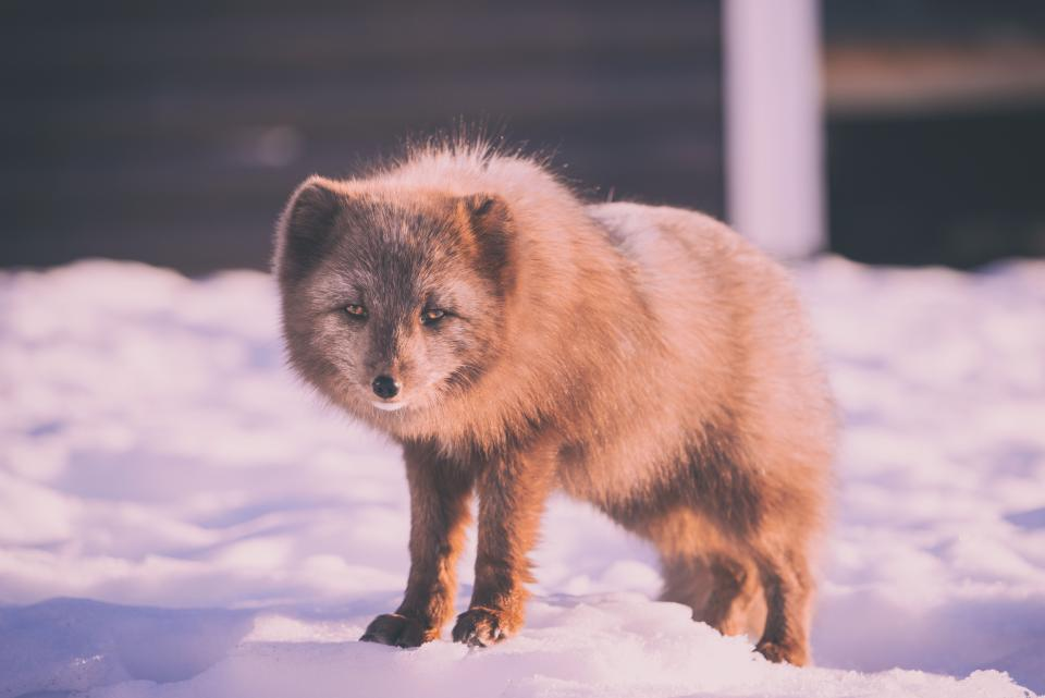 snow winter white cold weather ice animal nature fur brown fox