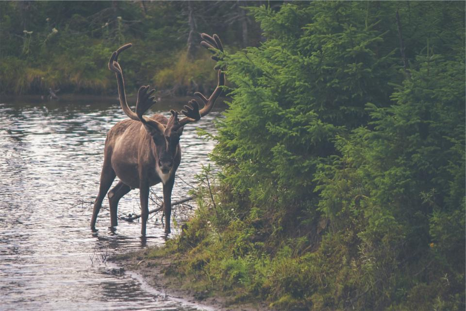 moose antlers animal river water trees leaves nature