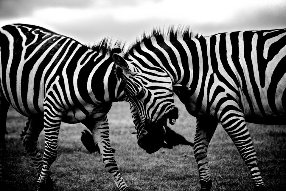zebras animals black and white