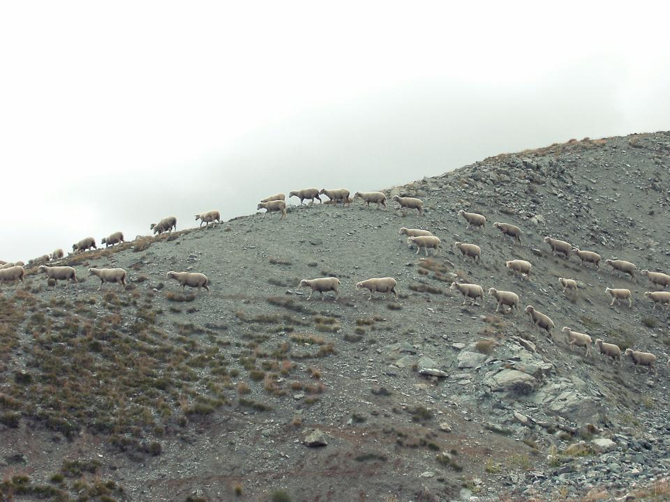 wild sheep animals mountain rocks dirt