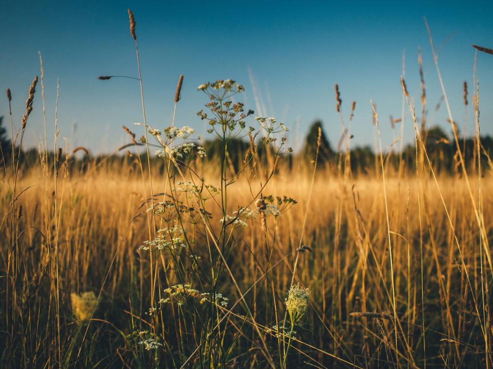 plants field grass crops agriculture nature farm countryside rural summer