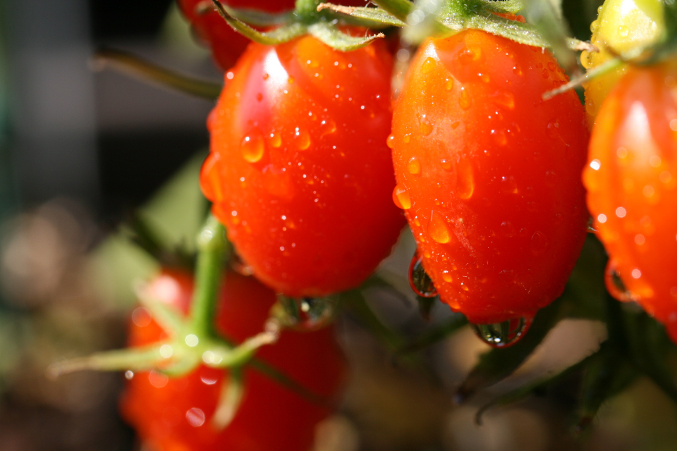 tomatoes garden close up wet red fruit vegetable food organic natural dew rain ripe agriculture fresh cherry vine
