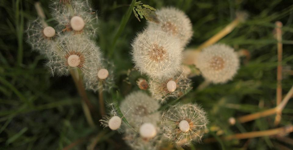 dandelions flowers grass nature