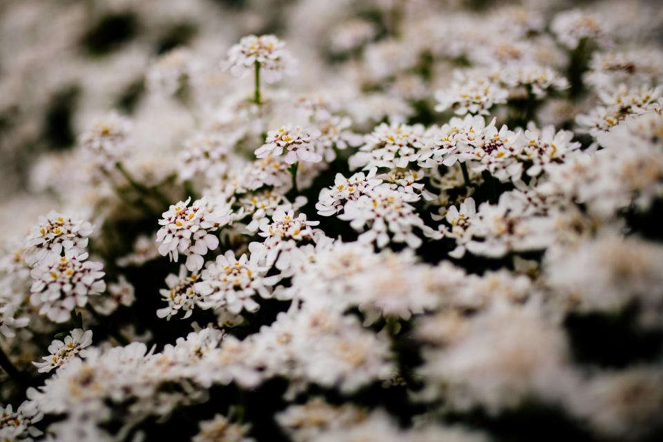 white flower bloom blossoms nature plant garden blur