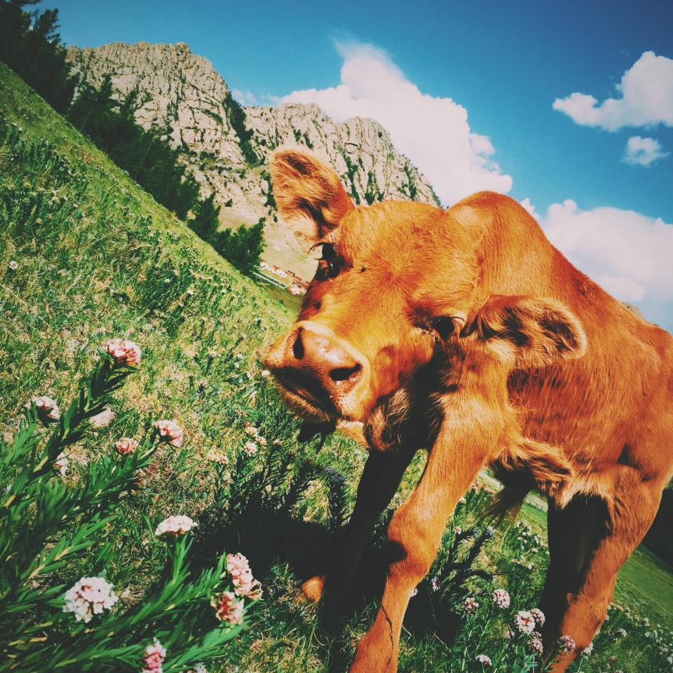 brown calf cattle cow animal mammal green grass flower plants nature mountain highland trees view blue sky