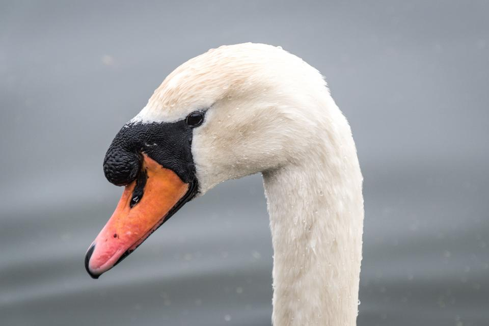 white duck swan bird beak neck animal water