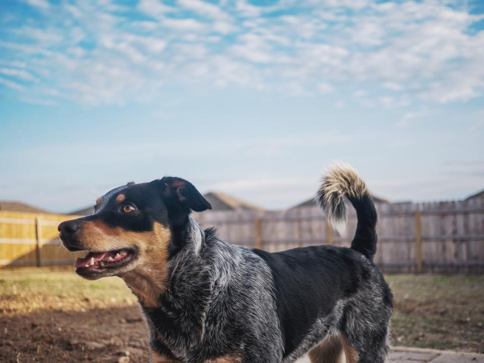 dog puppy blue heeler backyard sky fence happy