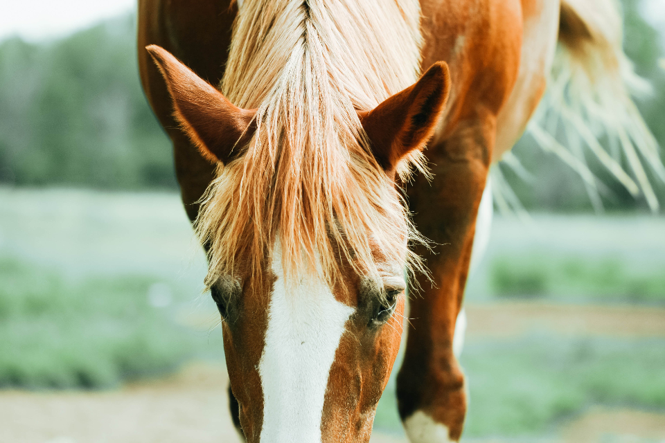 horse hair equine pasture field eyes ears animal equestrian farm head outdoors nature close up