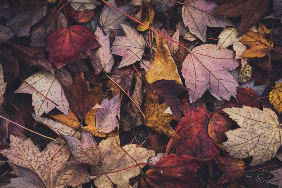autumn leaves background leaf fall nature assorted thanksgiving halloween seasonal maple tree texture natural