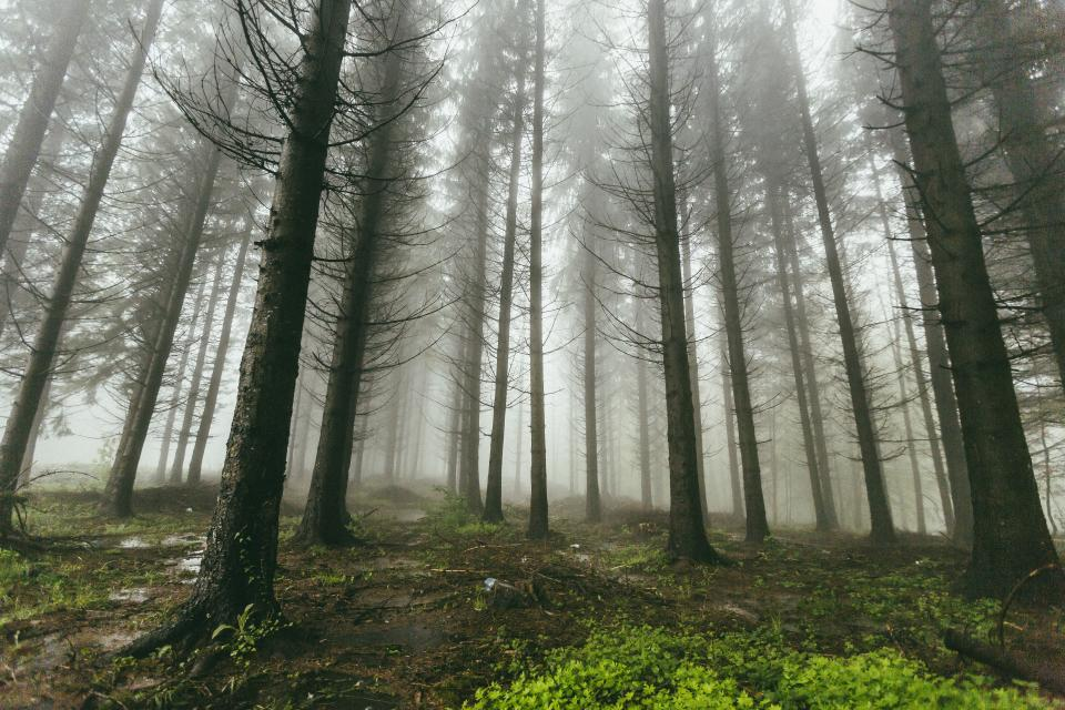nature forests trees grass lush vegetation fog eerie rows lines patterns perspective