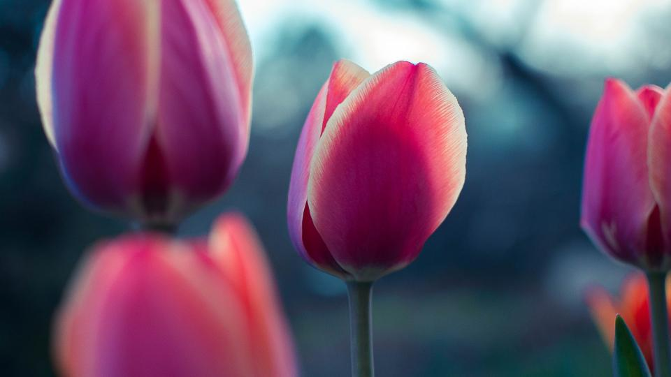 pink tulip flower petal bloom nature plant blur garden