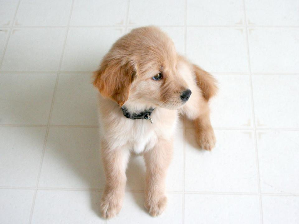 dog pet animal cute puppy
