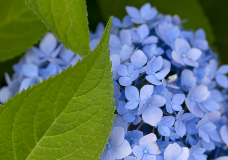 blue flowers petals close up floral beauty fresh delicate blooming plant color nature leaf leaves outdoors