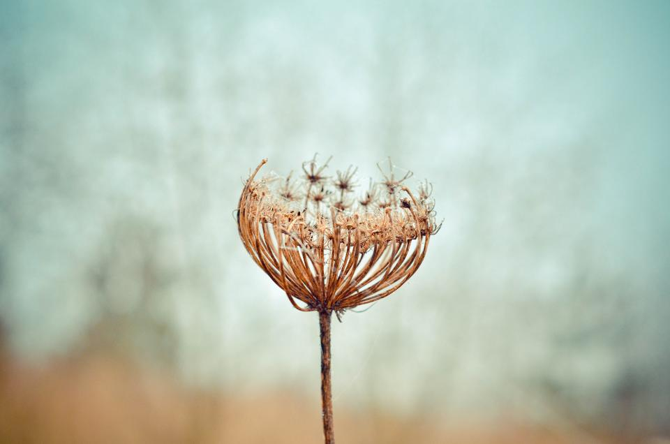 dandelion flower plant nature stem blur outdoor