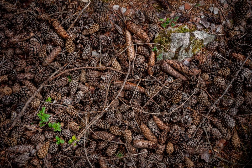 conifer cone pine plant nature outdoor