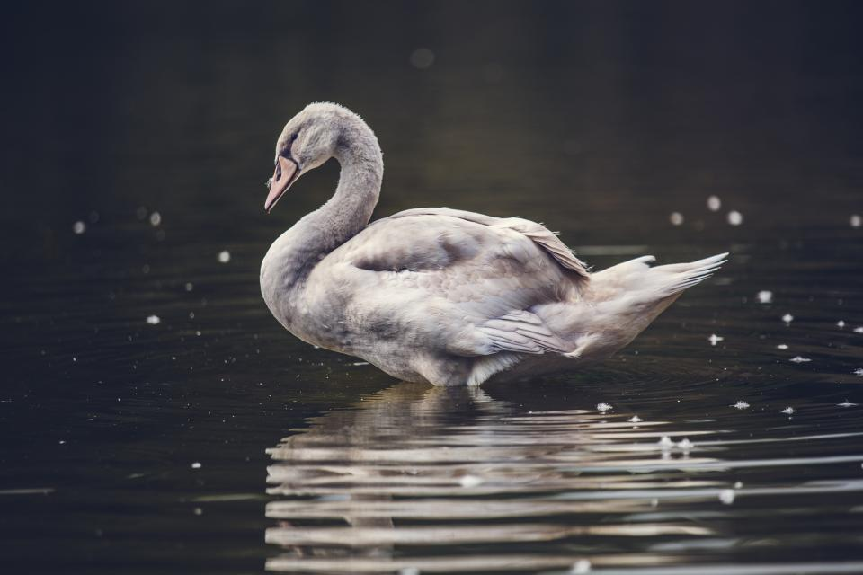 water reflection bird animal duck swan