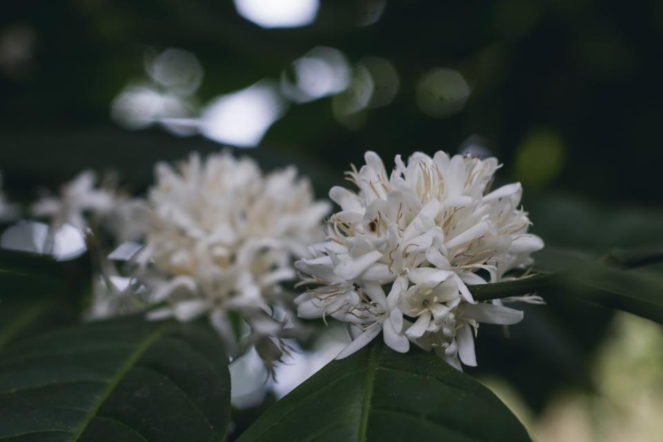 coffee plant green leaf white flower nature blur